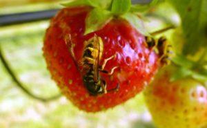Wespe auf einer Erdbeere