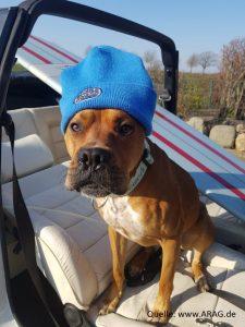 Hund mit Mütze im Cabrio